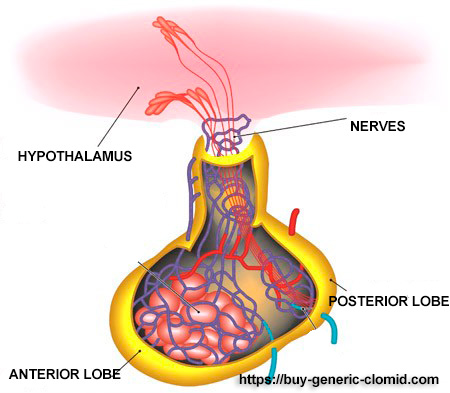 pituitary gland and clomid