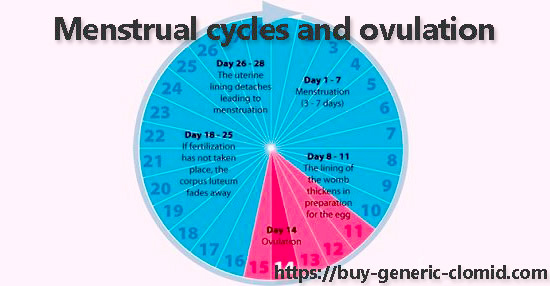 Menstrual cycles and ovulation